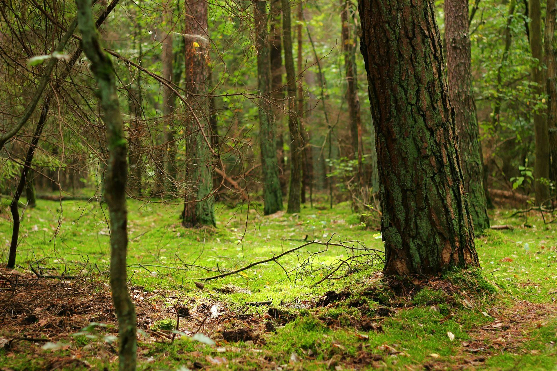 skogsnatt